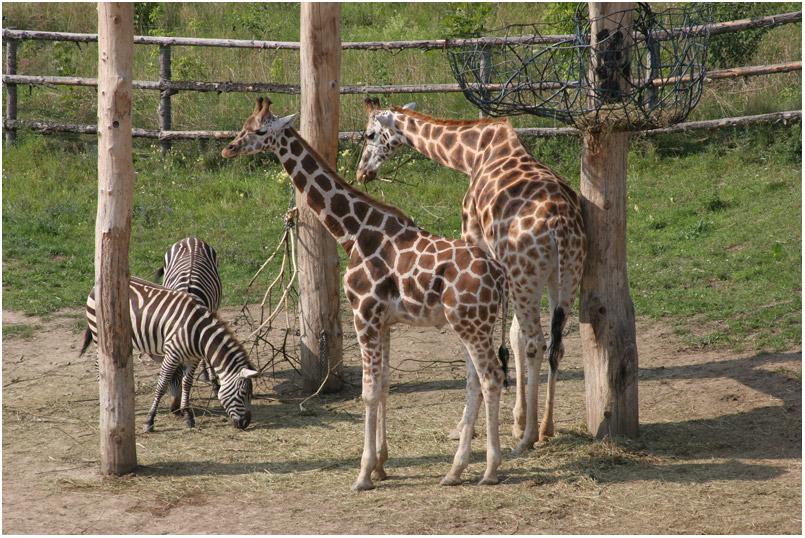 Пражский зоопарк жирафы