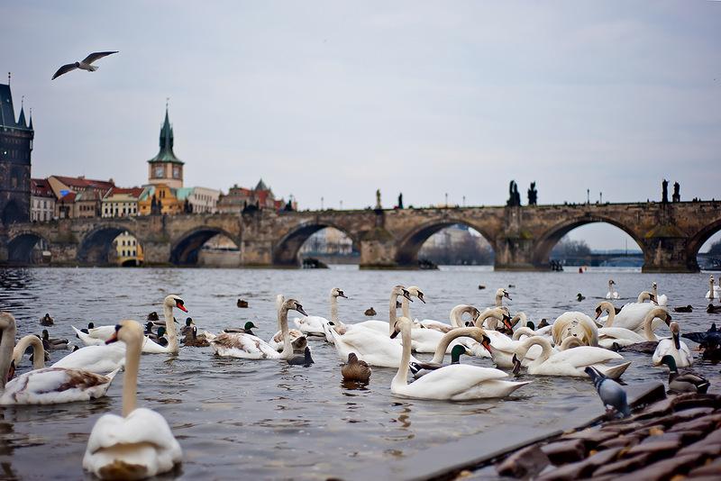 Кормить лебедей в Праге